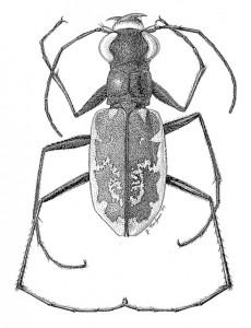 Cicindela.hamata - bug